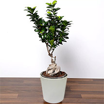 Ficus Bonsai Plant In Ceramic Pot: Plants In Dubai