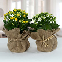 Jute Wrapped Dual Potted Plants: New Year Gifts