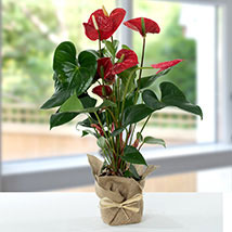 Red Anthurium Jute Wrapped Potted Plant: Anniversary Gifts